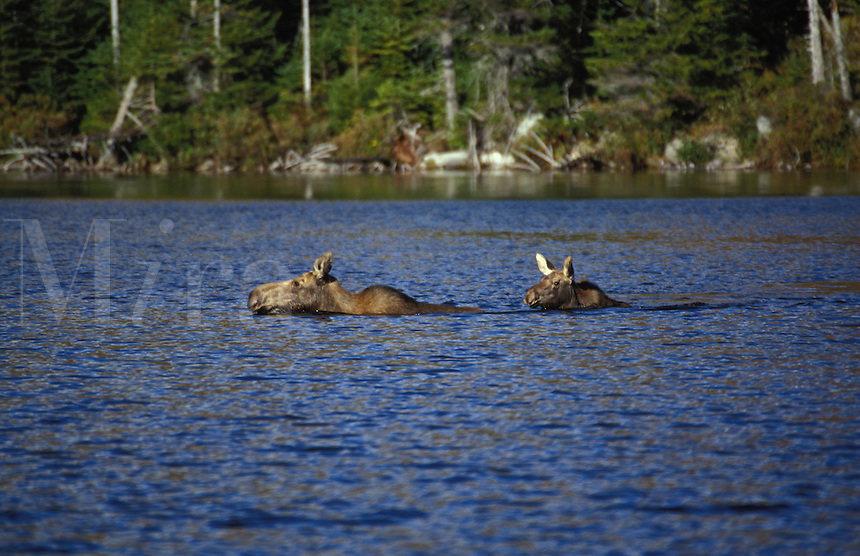 Moose cow and calf swimming across Sandy Stream Pond, in Baxter State Park, Maine.