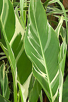 Canna 'Stuttgart' foliage variegated green and white