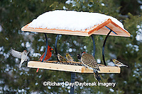 00585-037.06 Northern Cardinal,  Northern Flicker, American Goldfinches, & American Tree Sparrow on platform tray feeder, Marion Co. IL