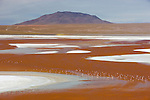 Bolivia, Altiplano, Laguna Colorada with James' flamingos; the salt lake contains borax islands, whose white color contrasts with the reddish color of its waters, which is caused by red sediments and pigmentation of some algae.