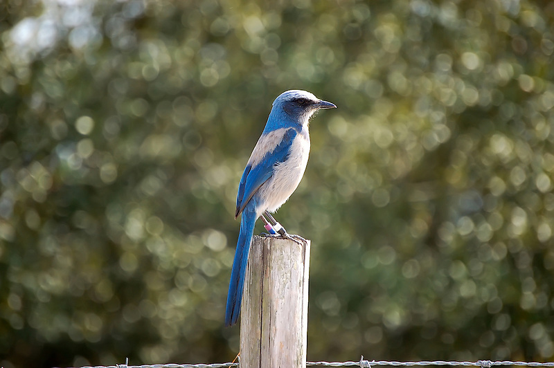 Scrub jay in Highlands County, Florida near Lake June-in-Winter. This one has been tagged and released in order for biologists to monitor wild populations.