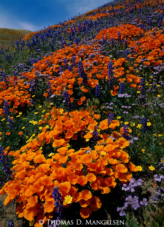 April brings the blooming of California poppies and lupine on a hillside in the Tehachapi Mountains in California.