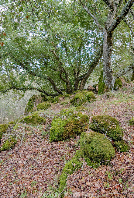 Moss covered rocks and bay trees along the Fossil Ridge Trail.