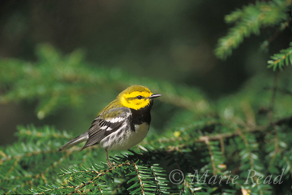 Black-throated Green Warbler (Dendroica virens) male perched on a hemlock branch, New York, USA<br /> Slide # B161-2004