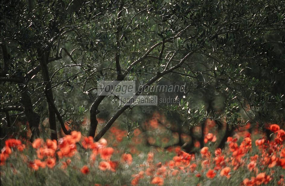 Europe/France/Provence-Alpes-Côte d'Azur/84/Vaucluse/ENV. de Bedoin: Coquelicots et oliviers