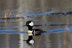 Male hooded merganser in spring