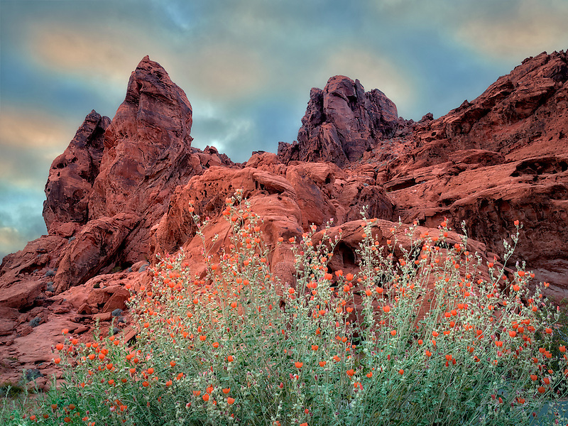 Globe Mallow and rock formation in Valley of Fire State Park, Nevada