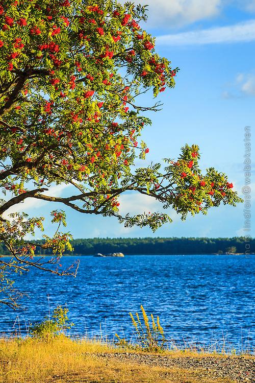Rönnbärsträd vid havet på Knappelskär i Nynäshamn Stockholms skärgård.