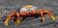 Sally Lightfoot crabs are among the more colorful residents of the Galapagos Islands.