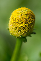 """Jambu. Jambu -0 Acmella oleracea<br /> <br /> Planta da região norte do país, onde é utilizada como condimento culinário amazônico, principalmente para ao preparar o famoso """"molho-de-tucupi"""". As folhas e inflorescência são empregadas na medicina caseira na região norte do país, para tratamento de males da boca e garganta, além de tuberculose e litíase pulmonar. As folhas e flores quando mastigadas dão uma sensação de formigamento nos lábios e na língua devido sua ação anestésica local, sendo por isso usada para dor-de-dente como anestésico e como estimulante do apetite. O chá das folhas e inflorescência é empregada também, contra anemia, escorbuto, dispepsia e como estimulante da atividade estomáquica.[2] A substancia responsável pela ação anestésica na mucosa bucal é uma isobutilamida denominada espilantol. Na sua composição química, além de espilantol, são citados a espilantina,afinina, colina e fitosterina.[3]"""