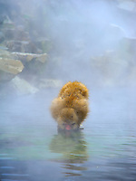 Japanese Macaque (Snow Monkey) drinking from the hot spring at the Jigokudani Park near Nagano, Japan