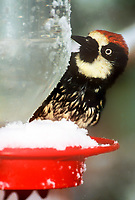 597890005v a wild acorn woodpecker melanerpes formicivorus perches on a snow covered hummingbird feeder during a spring snowstorm in ramsey canyon arizona