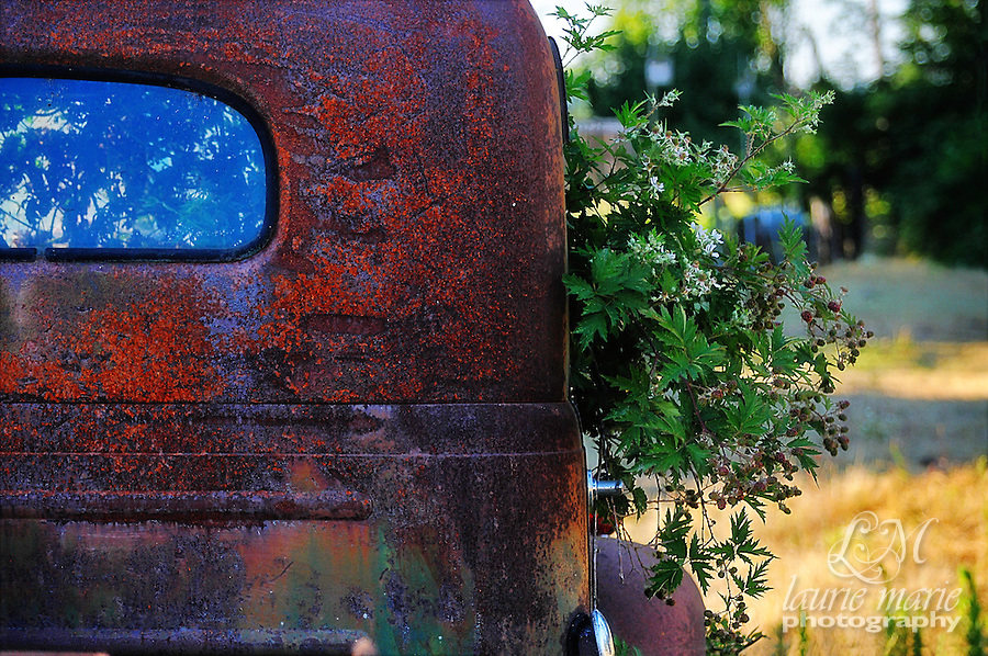 This is an old abandoned REO Speed Wagon truck with a cab overgrown with blackberries.