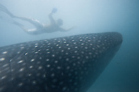 Philippines / Whale sharks