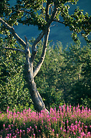 Balsam Poplar, fireweed, Kodiak Island, Alaska.