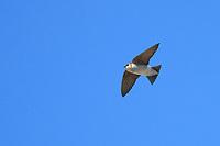 Violet-green Swallow (Tachycineta thalassina thalassina), female in flight at the Desert National Wildlife Refuge outside Las Vegas, Nevada.