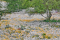 Meadow of Oxeye Daisy (Chrysanthemum leucanthemum)  and Coreopsis flowers, North Carolina.