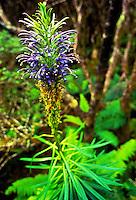 The native plant lobelia grayana flowers.