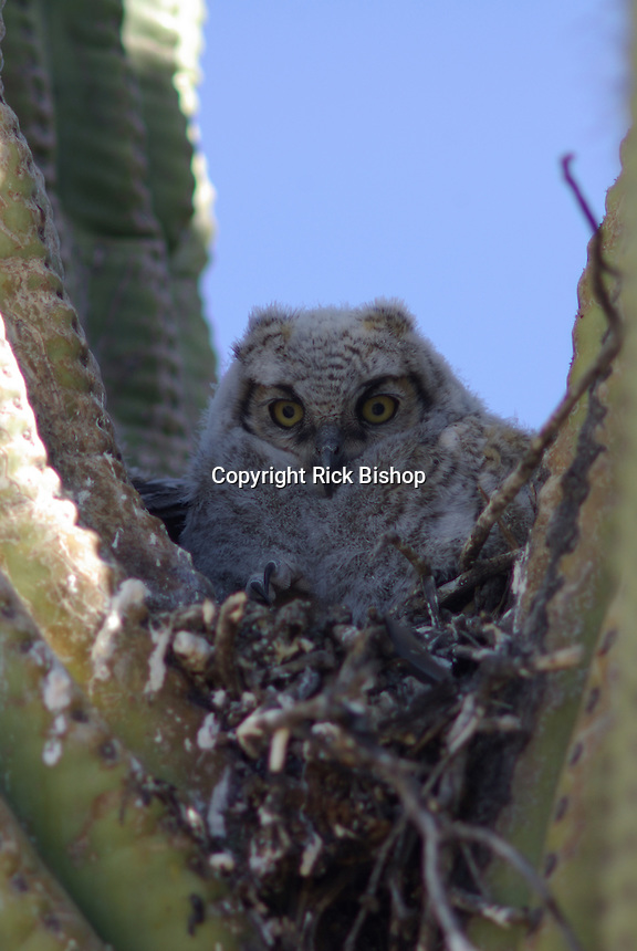 One of three young Great Horned Owls seen in the nest in a saguaro cactus in southern Arizona's Saguaro National Park.