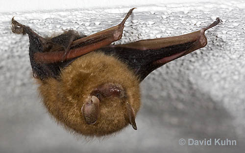 0411-1008  Little Brown Bat (syn. Little Brown Myotis), Myotis lucifugus  © David Kuhn/Dwight Kuhn Photography.