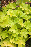 Heuchera Citronelle entire plant foliage leaves