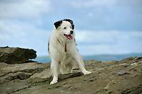 Sheepdog standing on a rock....Copyright..John Eveson, Dinkling Green Farm, Whitewell, Clitheroe, Lancashire. BB7 3BN.01995 61280. 07973 482705.j.r.eveson@btinternet.com.www.johneveson.com