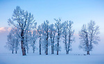 Yellowstone National Park, Wyoming/Montana: Dawn light on cottonwood trees in the Lamar Valley in winter