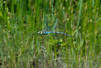 339480004 a wild giant darner anax walsinghani in hover flight over a small stream near big pine inyo county california