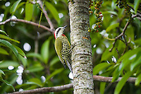An endemic Cuban Green Woodpecker (TXiphidiopicus percussus) on a palm tree trunk in Hacienda Cortina, Pinar del Rio Province, Cuba
