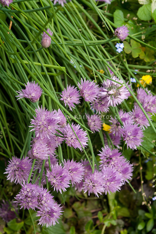 Chives herbs in flower, Allium