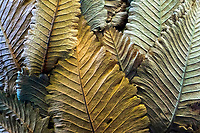 Close-up of the pattern of basket palm tree leaves in the Hawaii Tropical Botanical Garden north of Hilo along the Hamakua coast of Hawai'i Island.