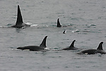 Pod or orcas near Seward, AK