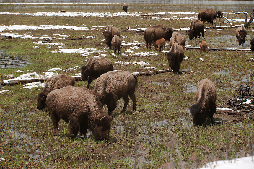 A herd of American buffalo, Bison, feeding in a field wet with melting snow.