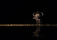 A cape buffalo comes to a watering hole to drink at night.