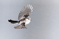 Schwanzmeise, Flug, Flugbild, fliegend, Schwanz-Meise, Meise, Meisen, Aegithalos caudatus, long-tailed tit, flight, flying, Mésange à longue queue