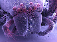 SEM of a Jumping Spider.  The field of view of this image is 4mm.