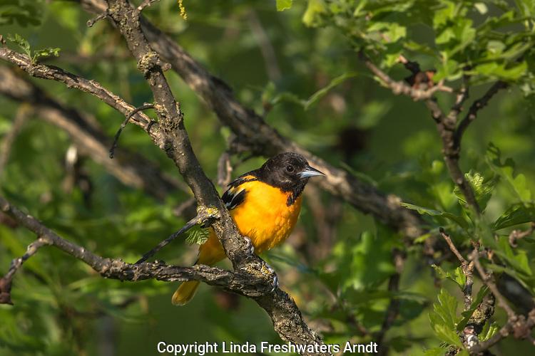 Male Baltimore oriole perched in a burr oak