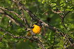 Male Baltimore oriole perched in a burr oak
