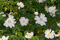 Hunds-Rose, Hundsrose, Heckenrose, Rose, Rosa canina. Common Briar, Dog Rose