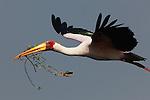 Botswana, Moremi Game Reserve, Okavango Delta, Yellow-billed stork (Mycteria ibis) in flight with nest-building material in bill