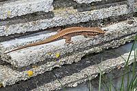 Mauereidechse, Mauer-Eidechse, Podarcis muralis, Lacerta muralis, common wall lizard, wall lizard, European wall lizard, Le Lézard des murailles, Österreich, Kärnten