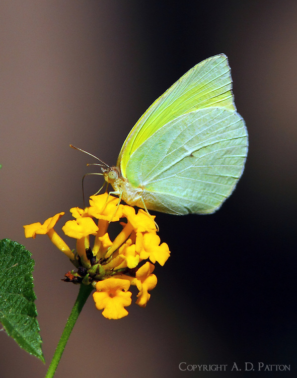 Lyside sulphur on lantana