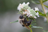 Bumblebee; Bombus; on Mountain-mint; Pycnanthemum; PA, Philadelphia, Schuylkill Center