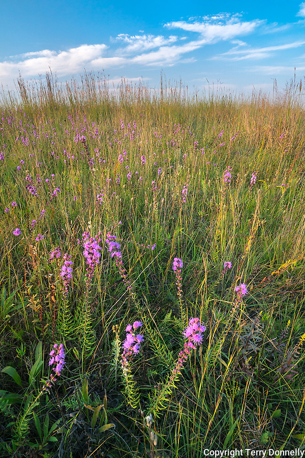 Nachusa Grasslands Natural Area, Illinois: Tallgrass prairie with native grasses and blazing star (liatris)