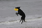 Dog catching Frisbee in air