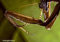 1M42-001x  Praying Mantis adult front leg w/spines Tenodera aridifolia sinenesis © Dwight Kuhn