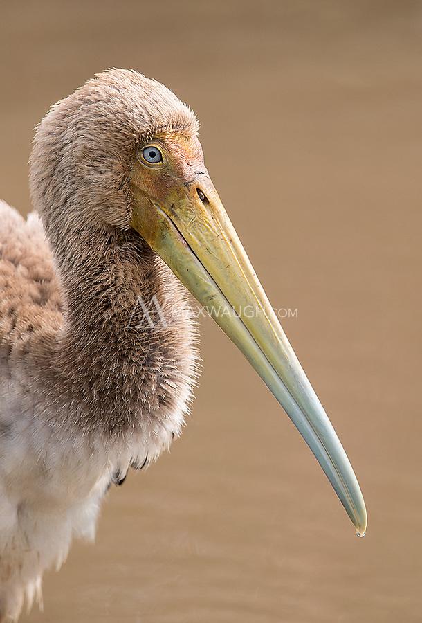 An immature stork photographed at Lake Manyara.