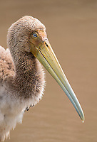 An immature stork photographed at Lake Manyara.