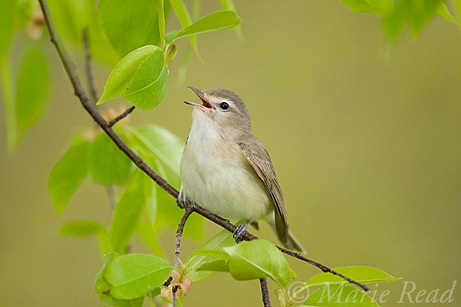 Warbling Vireo (Vireo gilvus), singing in spring, New York, USA