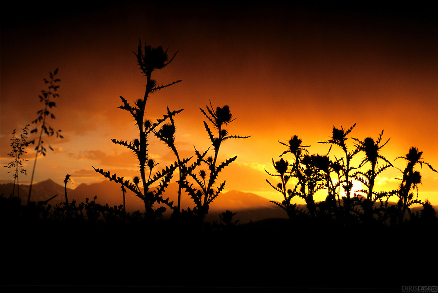 A setting sun illuminates thistle atop Boreas Pass, Colorado.